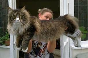big maine coon cats for forest cat chasing a fox pics