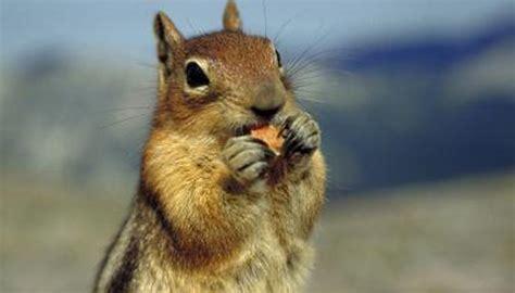 squirrel behavior  territory animals momme