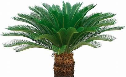 Palm Sago Pohon Pakis Oil Sikas Haji