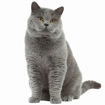 British Shorthair Cat Chaton Transparent Bleu Nice