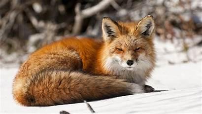 Fox Wallpapers Winter Animals Snow Cat Pc