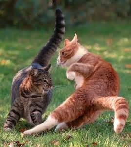 fighting cat cat fight cats in flight cats plays
