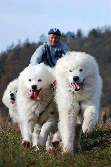 Samoyed Gloriousness Samoyed Dogs Pinterest