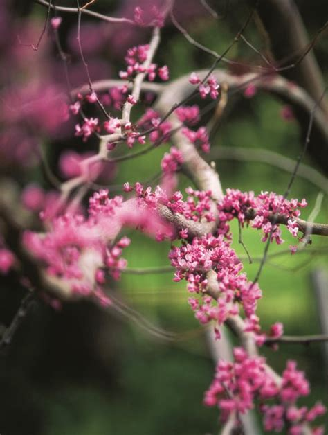buds tree care eastern redbud tree facts and care info garden design