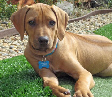 do rhodesian ridgebacks drool my top ten fav dogs a listly list