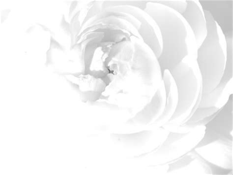 floral white rose   backgrounds   powerpoint