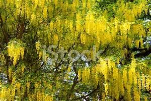Fleurs DE Cytise Jaune Vif À L'ima DE Jardin (arbre DE LA ...