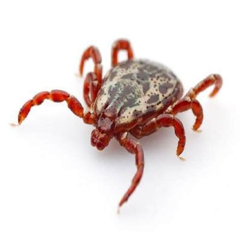 blood feeders insight pest solutions