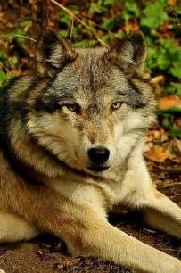 Beautiful Wild Wolf Pictures