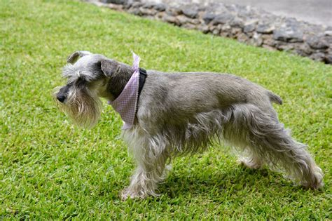Schnauzer Shed by Top 10 Breeds That Don T Shed Puppywire