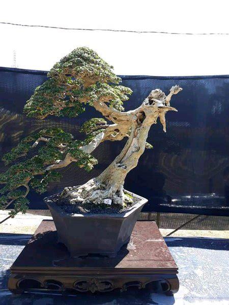 jual bibit bonsai serut  lapak wijaya kusuma bonsai amend