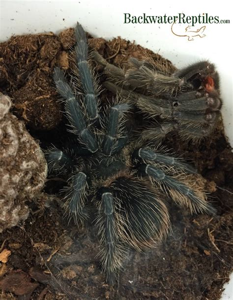 do tarantulas shed their how do tarantulas molt