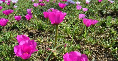 khasiat bunga krokot sebagai anti pembengkakan tanaman