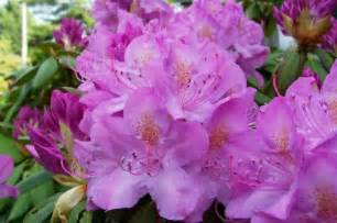 rhododendron when to plant rhododendrons and azaleas how to plant grow and care for rhododendron and azalea bushes the