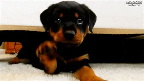 rottweiler gifs find share  giphy