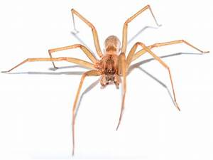 Brown Recluse Spiders: Control, Images, & Spider Facts