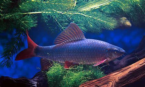 colorful aquarium fish freshwater
