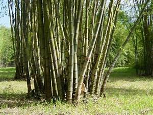 Bambus Pflanzen Kübel : die bambus pflanze wesen und bedeutung ~ Frokenaadalensverden.com Haus und Dekorationen