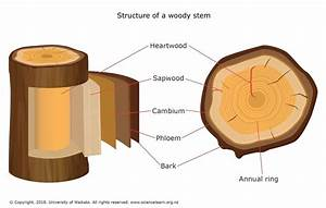Structure Of A Woody Stem  U2014 Science Learning Hub