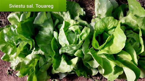Salāti sviesta TOUAREG 20 gran Seminis - Salāti - Sēklu ...
