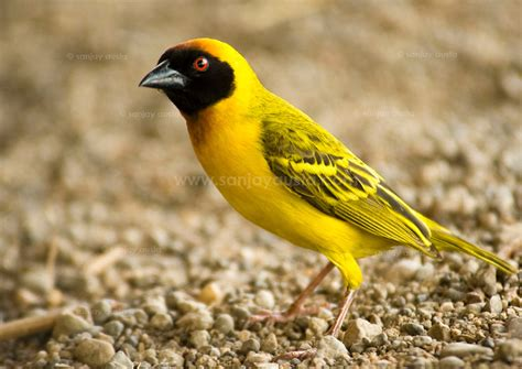 masked weaver bird the southern masked weaver tanzania africa sanjay austa photography