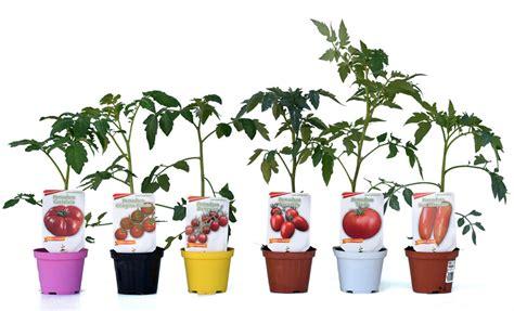 piante  pomodoro allungato portento   vaso  cm