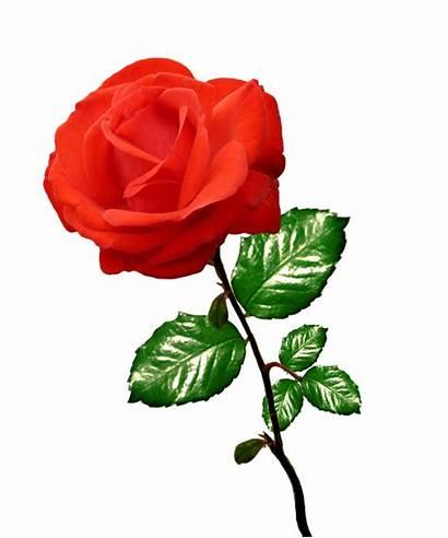 Rose Roses Clip Clipart Stalk Transparent Background