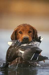 The Midas Touch: Golden Retrievers Make Great Duck Dogs ...