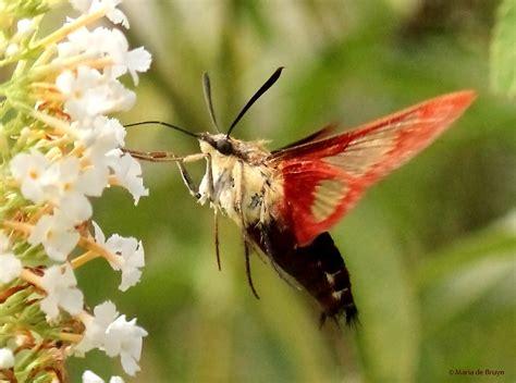 hummingbird moth hemaris thysbe my beautiful world