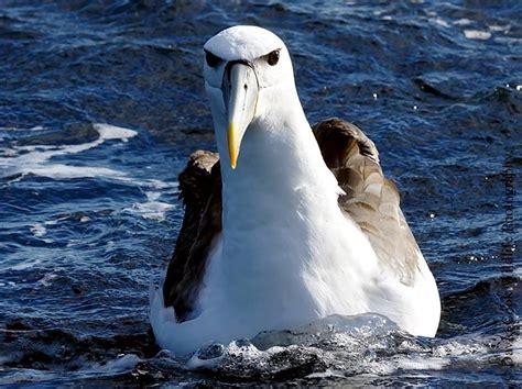 shy albatross ocean treasures memorial library