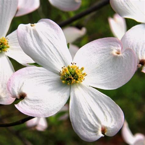 dogwood flowering trees  sale cornus florida ready