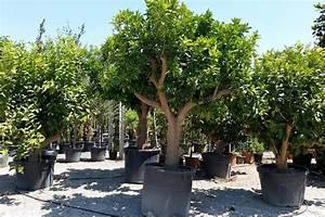 Prix D Un Citronnier : citronnier citrus limon h rault la jardinerie de la terre ~ Premium-room.com Idées de Décoration