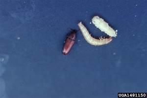 red flour beetle (Tribolium castaneum) | Factsheet Images