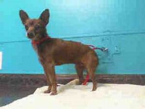 View ad chihuahua dog for adoption nevada las vegas usa for Dog rescue las vegas nv