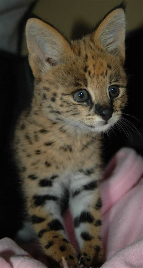 african serval kittens  sale pets show ad kuwait
