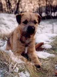 border terrier bilder fotos hundch
