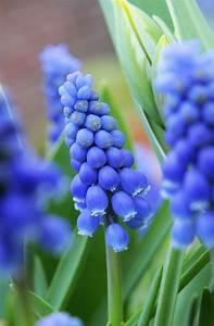 Welche Blumen Blühen Im Mai : die besten 25 traubenhyazinthe ideen auf pinterest zwiebel pflanzen fr hlingsboten und ~ Eleganceandgraceweddings.com Haus und Dekorationen