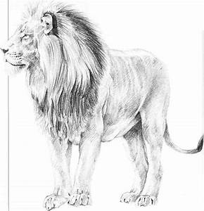 Drawn lion male lion - Pencil and in color drawn lion male ...