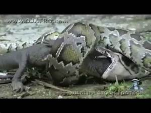 ANACONDA eating whole CROCODILE ...... unbelievable ...