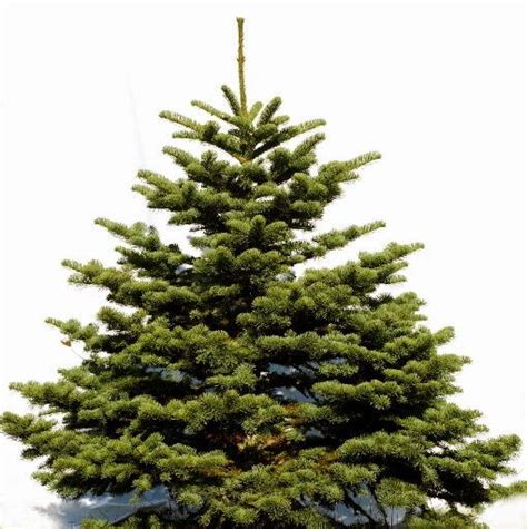 noble pine christmas tree christmas tree polls noble firs and quality stands come 1514