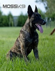 Chaos - KNPV Dutch Shepherd - Belgian Malinois - Personal ...