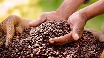 Coffee Plantation Africa Uganda Queen Park Ugandan