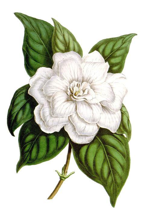 Gardenia Drawing by Scientific Illustration Oldbookillustrations Gardenia