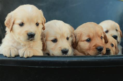Reserve Your Golden Retriever Puppy From Windy Knoll