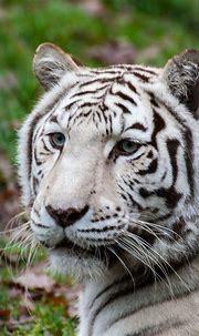 White Bengal Tiger | White bengal tiger, Animals beautiful ...