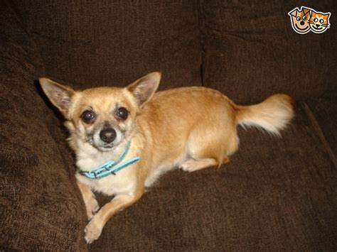 Red & Cream Smooth Coat Chihuahua Girl  Salford, Greater