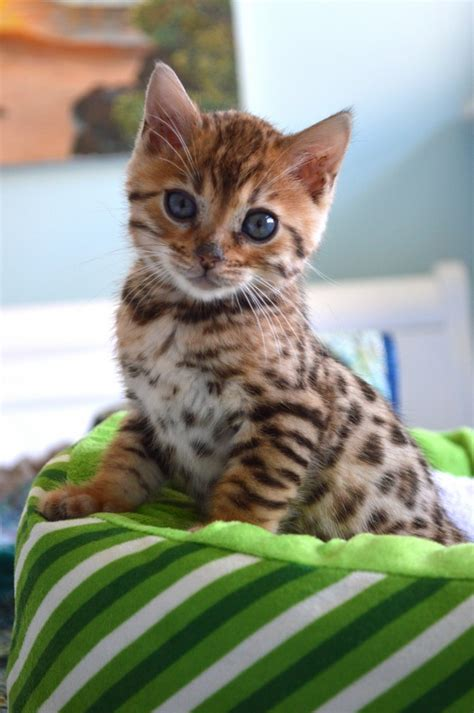 bengal cat for our new bengal kitten