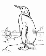 Coloring Penguins Emperor King Pages Penguin Printable Animal Club 13kb 820px sketch template