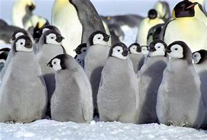 baby penguins - Baby Penguins Photo (34256951) - Fanpop