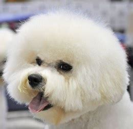 do bichons shed hair five small breeds that don 180 t shed much